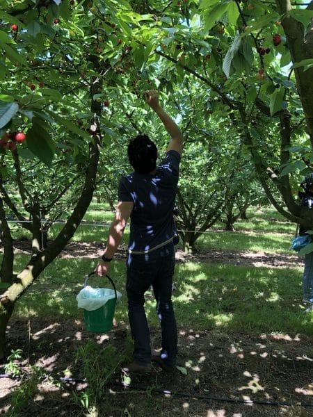 Cherry Fam Cherry Picking Red Hill