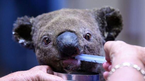Help the bushfire animals and donate to Port Macquarie Koala Hospital
