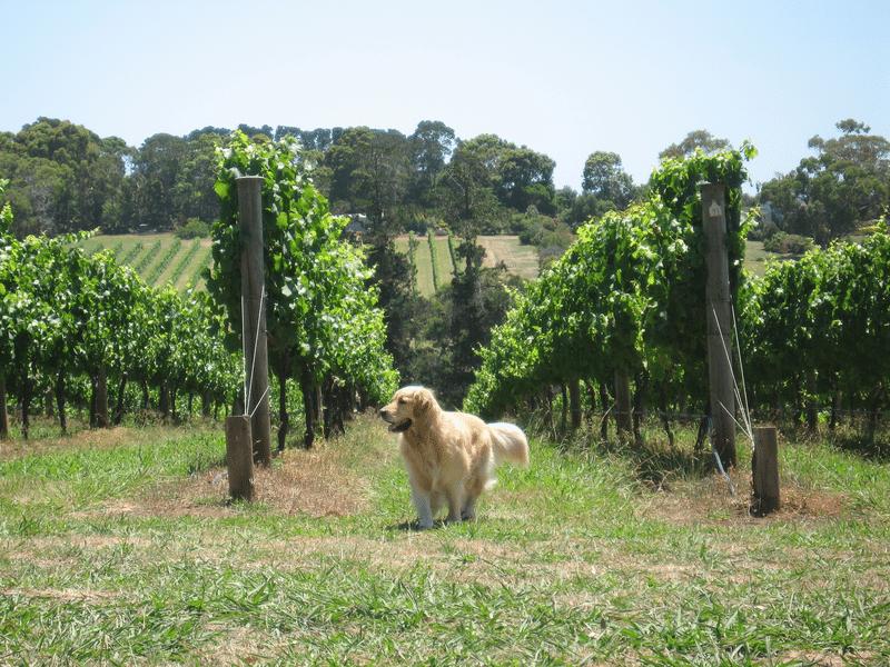 Dog friendly wineries and cellar doors on the Mornington Peninsula