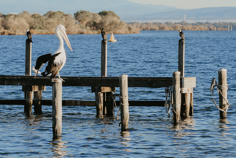 In the foreground a lone pelican perches in the morning sun on an old wooden jetty bollard with cormorants drying themselves on the jetty behind on Lake King in Gippsland Australia.