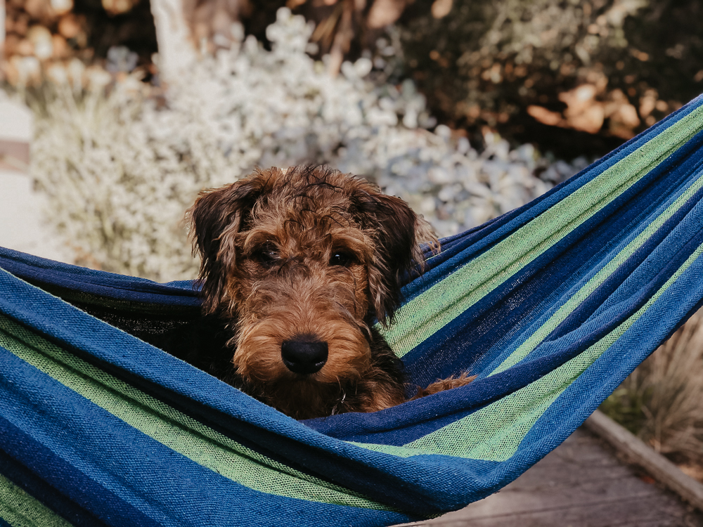 Airedale Puppy in Green and Blue Striped Hammock
