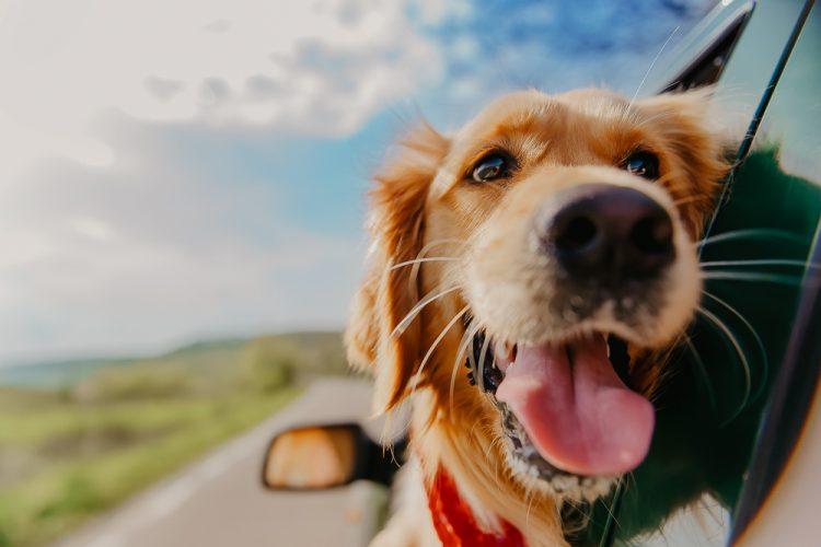 Doggie Road Trips Victoria