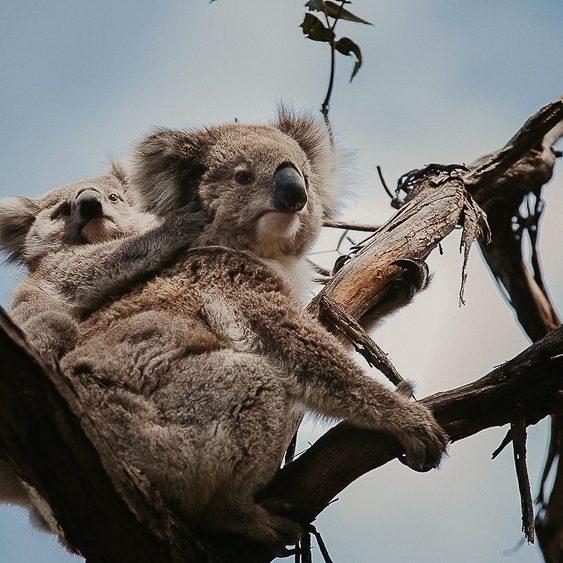 koalas-raymond-island_gip_r_supplied_1600x900-2